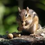 voyageurs national park chipmunk