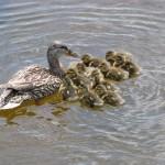 kabetogama lake ducks