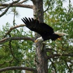 voyageurs national park eagle