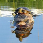 voyageurs national park turtles